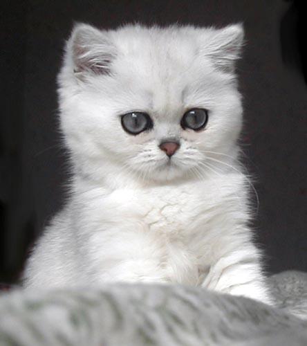 להפליא האתר הרשמי של החתולים, תמונות 2 AB-81