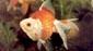 דג זהב זנב מניפה (שלייר) יפני
