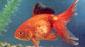 דג זהב זנב מניפה (שלייר)