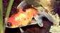 דג זהב טלסקופ קליקו