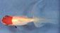 דג זהב כיפה אדומה