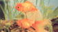 דג זהב אורנדה