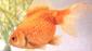 דג זהב קשקשי פנינים