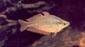 קשת אוסטרלית ספלנדיד זכרים