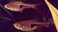 רזבורה ליצן צרת-משולש