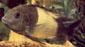 דובוסי (טרופאוס מנוקד) פס צהוב רחב